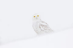 Snowy owl, rare bird sitting on the snow, winter scene with snowflakes in wind. Stock Images