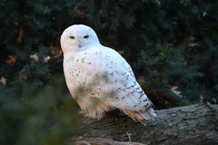 Snowy owl. A snowy owl rare owl in the wild Stock Photos
