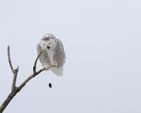 Snowy owl regurgitating a pellet Stock Image
