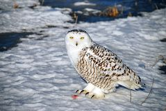 Snowy Owl At Rest. A Snowy Owl at rest after a successful hunt. The colored snow by its feet is all that's left of the prey. Also known as the Arctic Owl or the Stock Photos