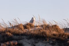Snowy Owl on a sand dune at sunset stock images