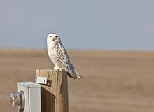 Snowy Owl Saskatchewan Canada. Prairie Post female Stock Photos