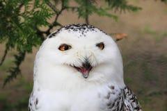 Snowy Owl. Screaming Snowy Owl (Bubo scandiacus Stock Photo