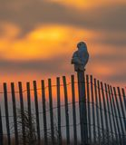 Snowy Owl on the Shoreline stock photos