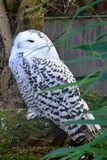 Snowy Owl showing Flecks of Black Plumage stock image