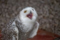 Snowy owl shows its open mouth. stock photos