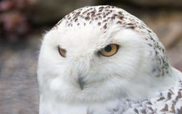 Snowy Owl from the side. Snowy owl sitting quietly looking out for prey Royalty Free Stock Images