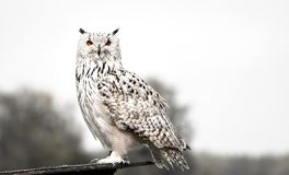 The snowy owl side portrait royalty free stock photography