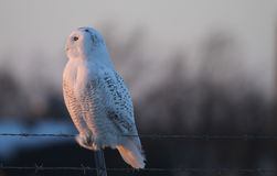 Snowy Owl. Side view of a Snowy Owl (Bubo scandiacus) perched on a barbed wire fence in the glow of the late afternoon sun Royalty Free Stock Photography