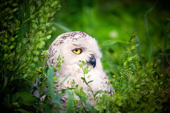 Snowy Owl. Side view of a White Snowy Owl (Bubo scandiacus) framed by vegetation Stock Images