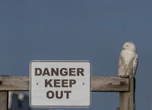 Snowy Owl on Sign Royalty Free Stock Image