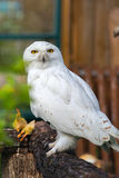 The snowy owl sits on a tree stock photography