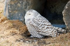 Snowy owl sitting Stock Images