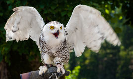 Snowy Owl Sitting on Falconry Glove with Wings Spread Out on Dar Stock Photo