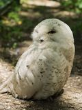 Snowy Owl. Sitting on the ground Stock Image