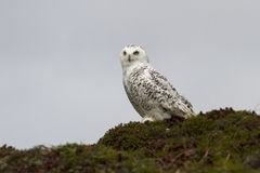 Snowy Owl sitting on a hillside in the tundra cloudy Stock Photo