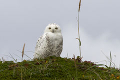 Snowy owl is sitting on a hummock tundra summer Stock Photography