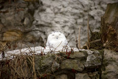 Snowy owl sitting on the nest. Royalty Free Stock Photos