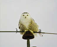 Snowy Owl sitting on pole Royalty Free Stock Photo