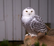 Snowy owl. Sitting on a rock watching the surroundings Stock Images