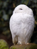 Snowy owl. Sitting on a rock watching the surroundings Royalty Free Stock Images