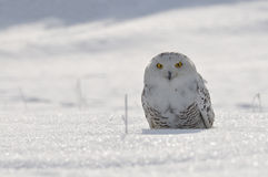 Snowy owl sitting on the snow. Field royalty free stock photography