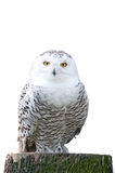 Snowy owl sitting on a stump on white background Stock Photos