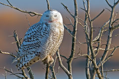 Snowy Owl. Sitting in a tree Royalty Free Stock Image