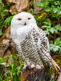 Snowy owl sitting on the tree stump Stock Photography