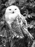 Snowy owl sitting on the tree stump Royalty Free Stock Photography
