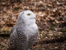The snowy owl sitting in the wood. Portrait of the yellow-eyed snowy owl Bubo scandiacussitting in the wood Royalty Free Stock Photo