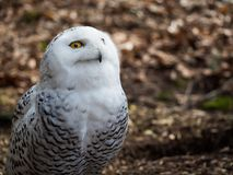 The snowy owl sitting in the wood. Portrait of the yellow-eyed snowy owl Bubo scandiacussitting in the wood Stock Images