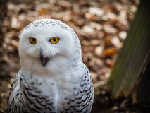 The snowy owl sitting in the wood. Portrait of the yellow-eyed snowy owl Bubo scandiacussitting in the wood Stock Photo