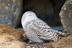 Snowy owl sleeping Stock Image