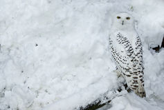 Snowy Owl in Snow. Snowy owl standing on log in snow Stock Images