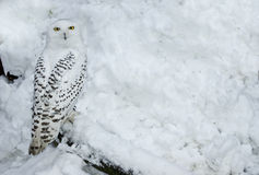 Snowy Owl in Snow Royalty Free Stock Photo