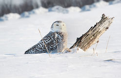 Snowy owl in snow. Snowy owl in nature during winter stock photos