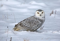 Snowy Owl in the Snow royalty free stock images