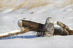 Snowy Owl on Snow Covered Beach Stock Photo