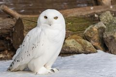 Snowy owl on snow. A male Snowy owl (Bubo scandiacus) outdoors on the snow royalty free stock images