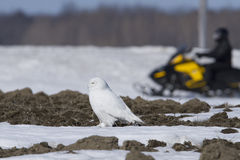 Snowy Owl and snowmobile Royalty Free Stock Photos