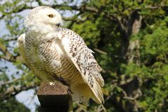 Snowy owl. Snowy  owl bird animal white wings beauty stock images