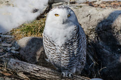 Snowy owl in spring forest setting. Large snowy owl on a log in the spring thaw stock photography