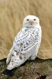 Snowy owl on stump in grass Royalty Free Stock Photography