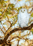 Snowy owl in summer time Royalty Free Stock Photo