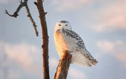 Snowy owl during sunset Royalty Free Stock Photography