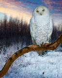 Snowy Owl during sunset Stock Photography
