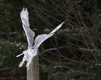 Snowy Owl Take-off Stock Images