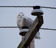 Snowy Owl on telephone pole Stock Photo