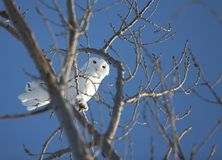 Snowy Owl in Tree Stock Photography